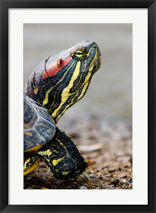 Framed Red-eared pond slider turtle, British Columbia Print