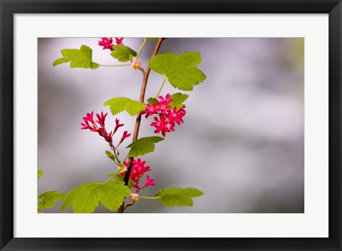 Framed Red-flowering currant, Vancouver, British Columbia Print