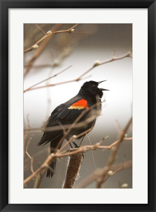 Framed Red-winged blackbird, Stanley Park, British Columbia Print