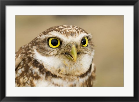 Framed Burrowing owl, Nicola Valley, British Columbia Print