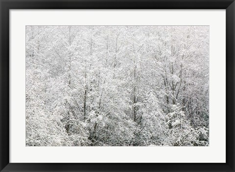 Framed Snow-covered trees, Stanley Park, British Columbia Print