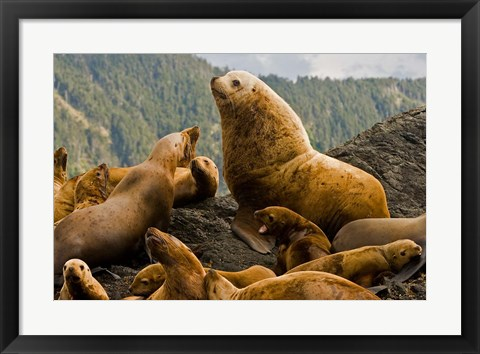 Framed Steller sea lion, Queen Charlottes, British Columbia Print