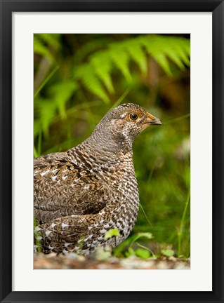 Framed Blue grouse bird, Salt Spring Isl, British Columbia Print