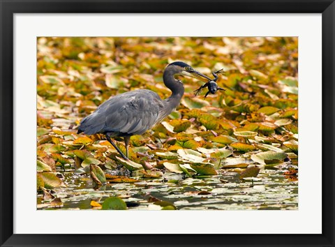 Framed Great blue heron bird, Stanley Park, British Columbia Print