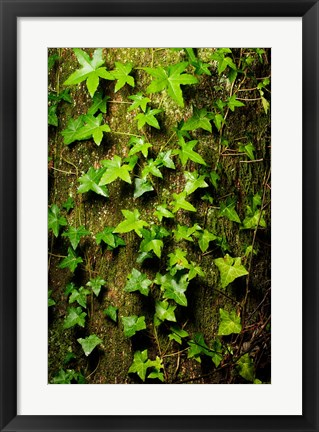 Framed Red cedar English ivy, Stanley Park, British Columbia Print