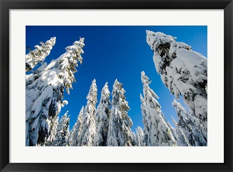 Framed Snow-laden forest, Seymour Mountain, British Columbia Print