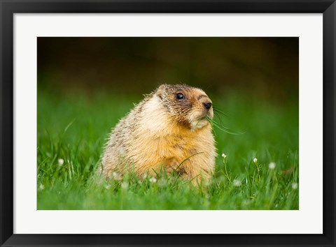 Framed Yellow-bellied marmot, Stanley Park, British Columbia Print