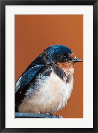 Framed Barn swallow, Great Bear Rainforest, British Columbia, Canada Print