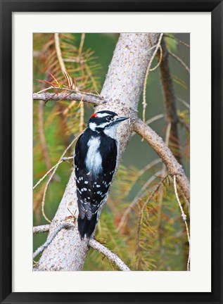 Framed British Columbia, Downy Woodpecker bird, male (back view) Print