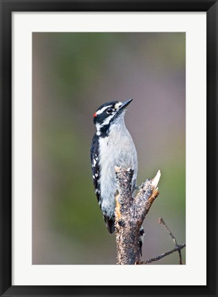Framed British Columbia, Downy Woodpecker bird, male (front view) Print
