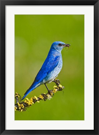 Framed British Columbia, Mountain Bluebird with caterpillars Print