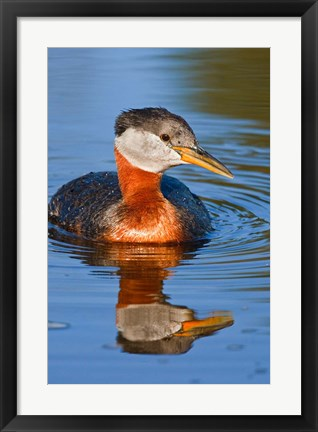 Framed British Columbia, Red-necked Grebe bird in lake Print