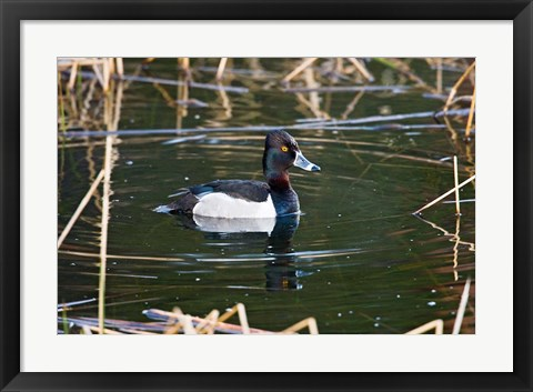 Framed British Columbia, Ring-necked Duck in marsh Print