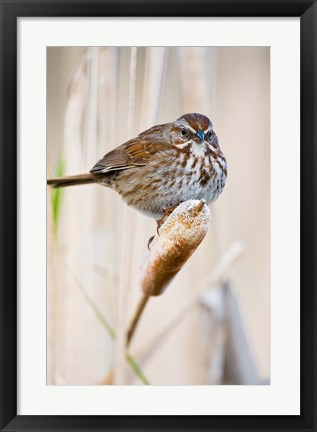 Framed British Columbia, Song Sparrow bird on cattail Print