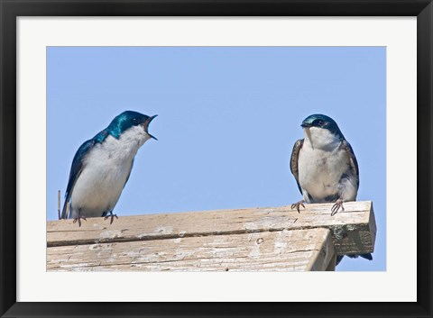 Framed British Columbia, Tree Swallows perched on bird house Print