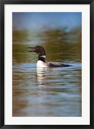 Framed British Columbia, Common Loon bird on lake Print