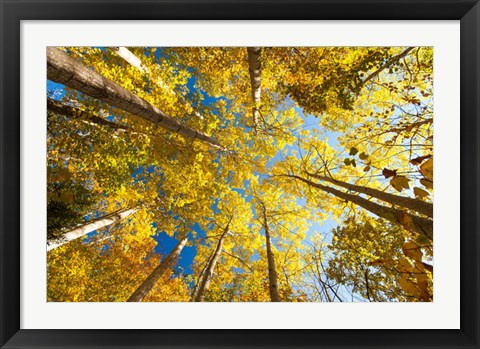Framed Aspens on the Canon Brook Trail Print