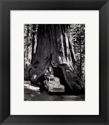 Framed tall redwood tree, or Sequoia,  through which a road has been cut- 1955 Print