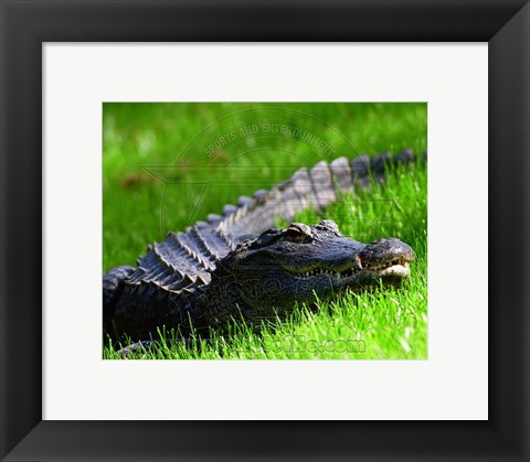 Framed Alligator - laying in the grass Print