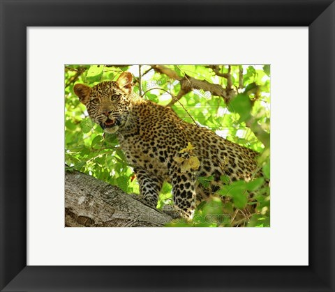 Framed Leopard in the trees Print