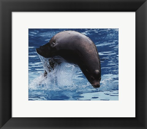 Framed Sea lion Print