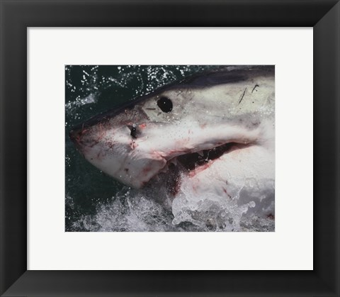 Framed Great White Shark Print