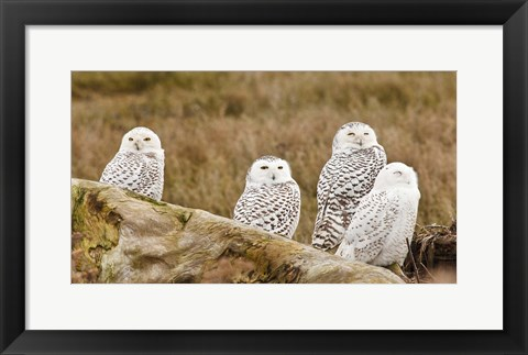 Framed Flock of Snowy Owl, Boundary Bay, British Columbia, Canada Print