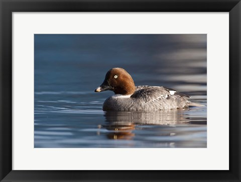 Framed Common Goldeneye Hen, Vancouver, British Columbia, Canada Print
