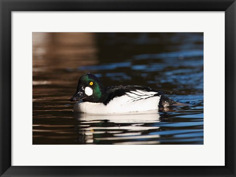 Framed British Columbia, Vancouver, Common Goldeneye duck Print