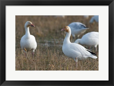 Framed British Columbia, Westham Island, Snow Goose bird Print