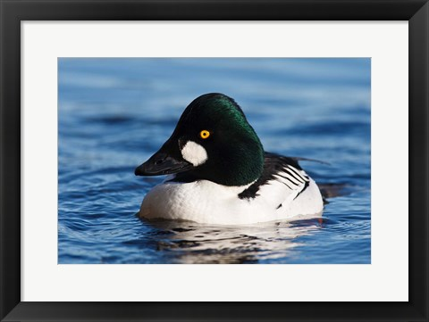 Framed Common Goldeneye Drake, Vancouver, British Columbia, Canada Print