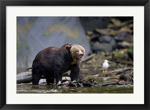 Framed Canada, British Columbia Grizzly bear eating salmon Print