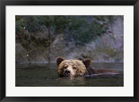 Framed Canada, British Columbia Grizzly bear swimming Print