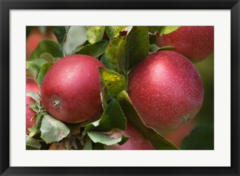 Framed Apples, Okanagan Valley, British Columbia, Canada, Na Print