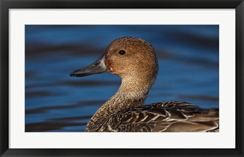 Framed Northern Pintail Hen, George C Reifel Migratory Bird Sanctuary, Westham Island, British Columbia, Canada Print
