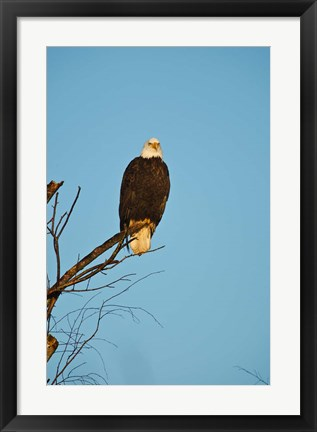 Framed Bald Eagle, Vancouver, British Columbia, Canada Print