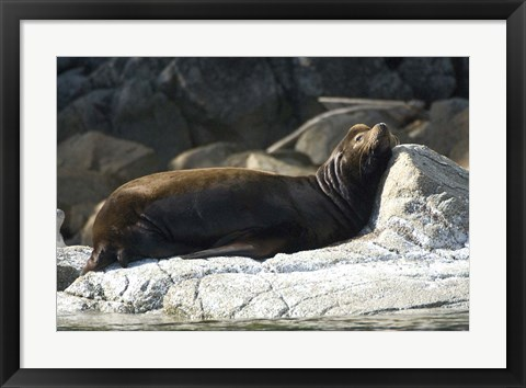 Framed Sea Lions, Batley Island, Pacific Rim, British Columbia Print