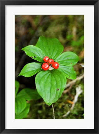 Framed Temperate Rainforest Berries, Bramham, British Columbia Print