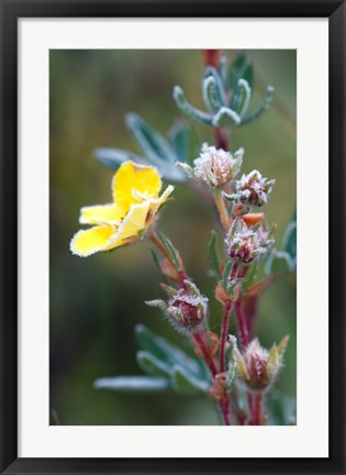 Framed Ice crystals on flowers, Jasper National Park, Canada Print