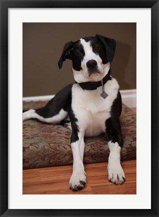 Framed British Columbia, Mission, coon hound dog Print
