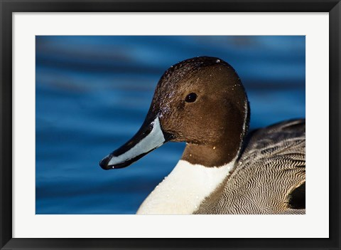 Framed British Columbia, Westham Island, Pintail Duck Print