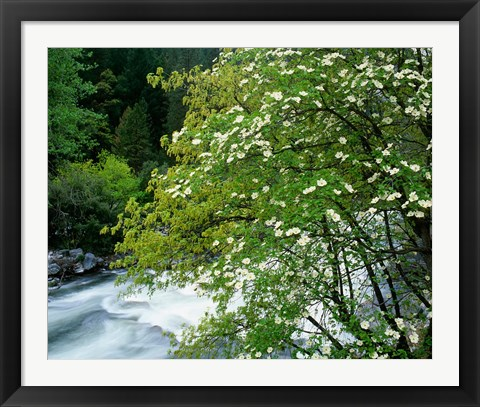 Framed Flowering dogwood tree along the Merced River, Yosemite National Park, California Print