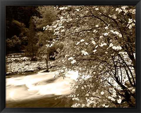Framed Pacific Dogwood tree over the Merced River, Yosemite National Park, California Print