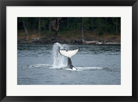 Framed Canada, Vancouver Island, Sydney Killer whale slaps its tail Print