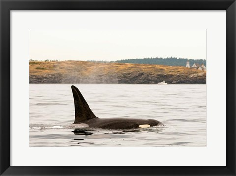 Framed Canada, BC, Sydney Killer whale swimming in the strait of Georgia Print