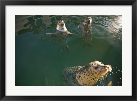 Framed British Columbia, Victoria, Harbor Seals, Oak Bay Print