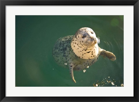 Framed Harbor Seals, Oak Bay, Victoria, British Columbia Print