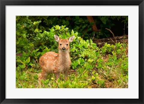 Framed Fawn, Sitka Black Tailed Deer, Queen Charlotte Islands, Canada Print