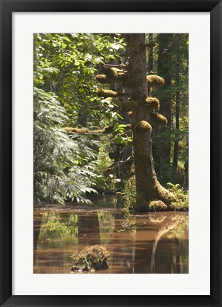 Framed Rainforest and Swamp, Queen Charlotte Islands, Canada Print
