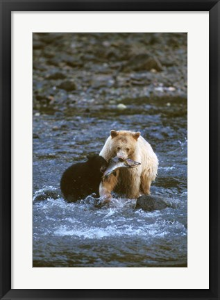 Framed Sow with Cub Eating Fish, Rainforest of British Columbia Print